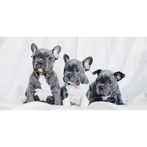 Osuška 70x140 - French Bulldogs